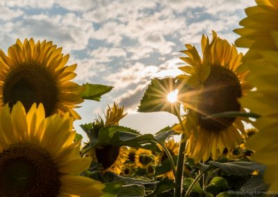 Sunflowers with sun and sky