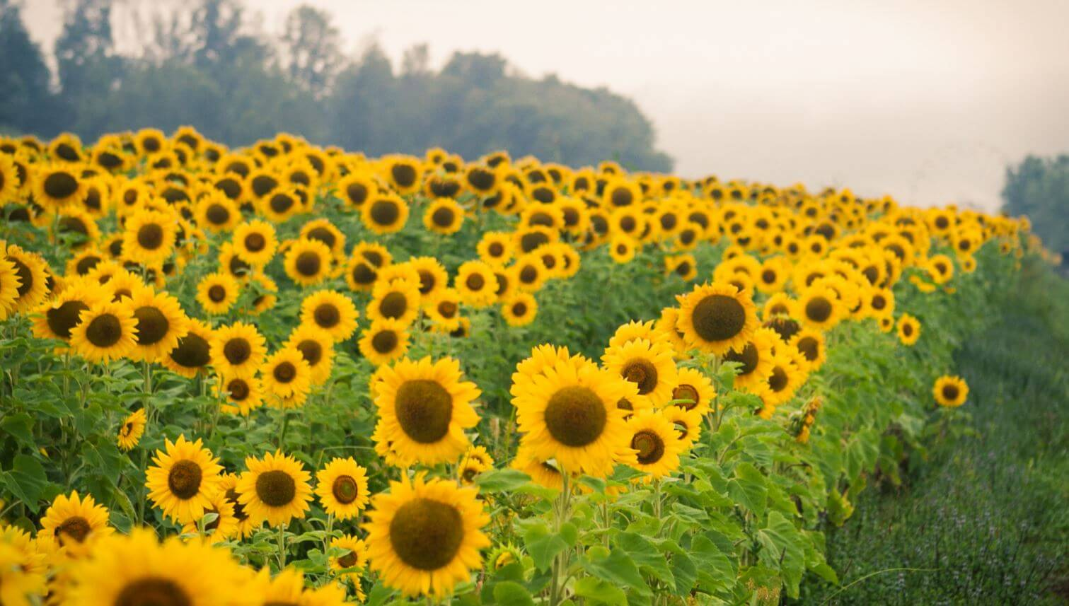 Sunflowers Are Located At The Grounds Of Double G RV Park Please Visit Our Contact Page For Directions